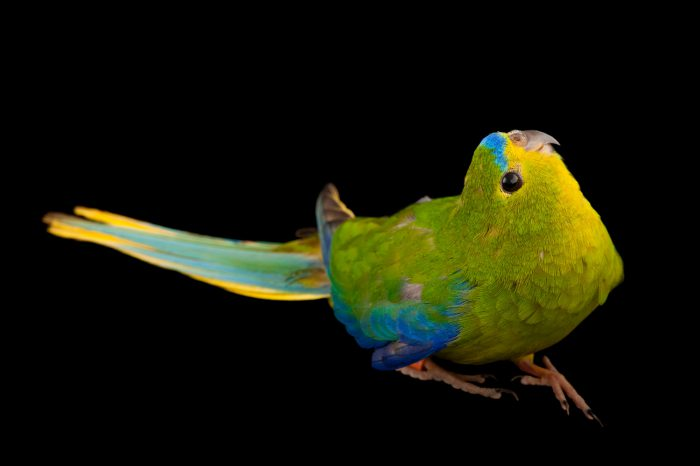 A critically endangered orange-bellied parrot (Neophema chrysogaster) at the Healesville Sanctuary in Healesville, Victoria, Australia. This is one of the rarest birds in the world with fewer than 50 left in the wild.