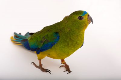 The critically-endangered orange-bellied parrot (Neophema chrysogaster) at the Healesville Wildlife Sanctuary. This is one of the rarest birds in the world with fewer than 50 left in the wild.