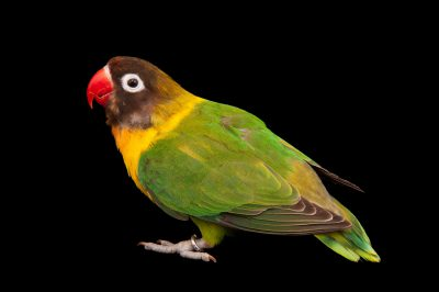 Yellow-collared lovebird (Agapornis personatus) at the Fort Wayne Zoo.