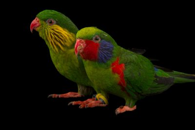 Photo: Red-flanked lorikeets (Charmosyna placentis placentis) at the Boonshoft Museum.