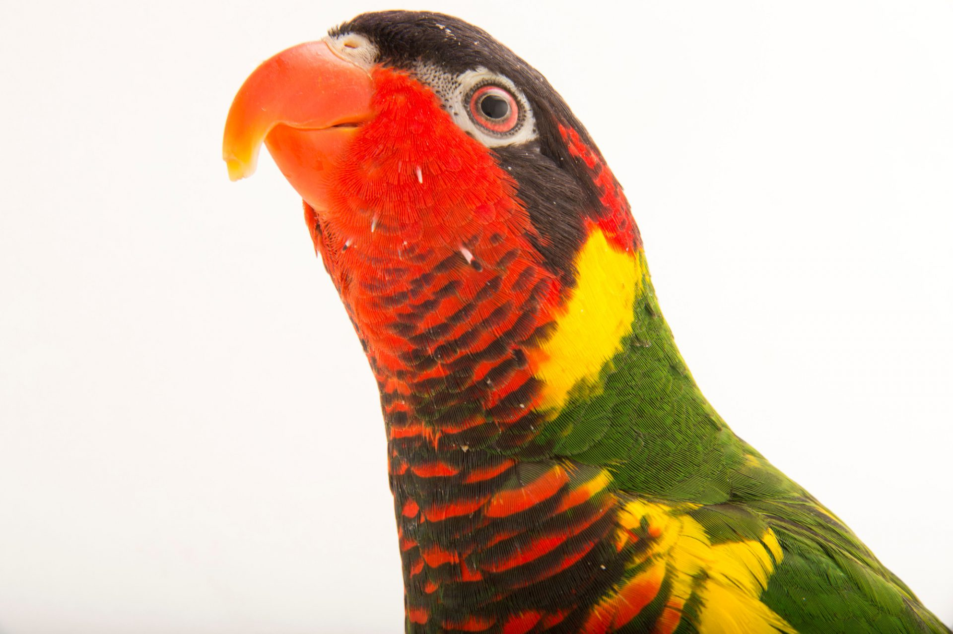 Photo: Aussie the ornate lorikeet (Trichoglossus ornatus) at the Boonshoft Museum of Discovery in Dayton, Ohio.