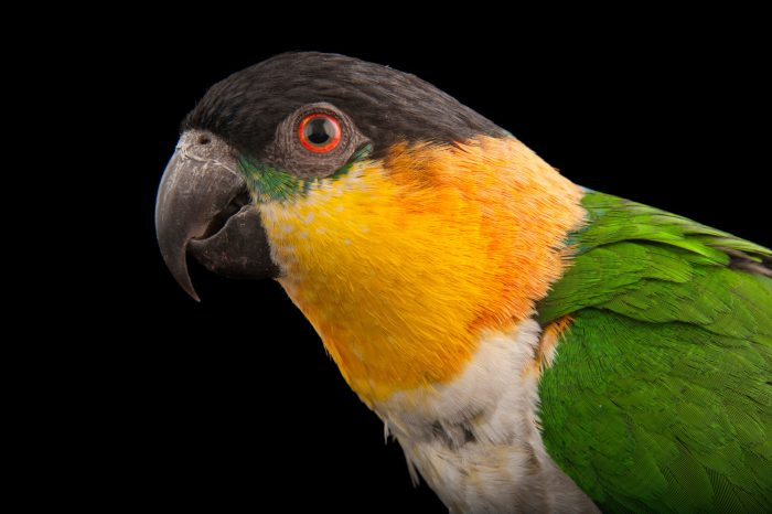 Picture of a Black-headed Parrot (Pionites melanocephalus) at the Sedgwick County Zoo in Wichita.
