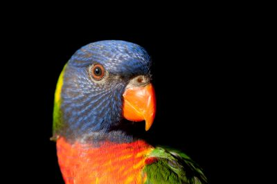 Picture of a rainbow lorikeet (Trichoglossus moluccanus) from Brisbane, Queensland, Australia.