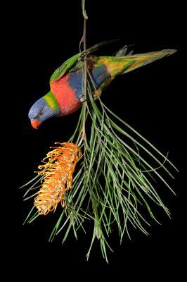 Picture of a rainbow lorikeet (Trichoglossus moluccanus) from Brisbane, Queensland, Australia.