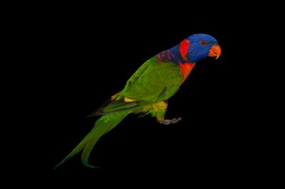 A red-collared lorikeet (Trichoglossus rubritorquis) from Brisbane, Queensland, Australia.