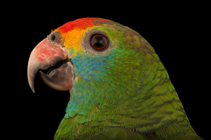 Red-browed Amazon parrot (Amazona rhodocorytha) at the Rare Species Conservatory Foundation. The Conservatory Foundation has 55 individuals, and has the only population of this species in North America. This species is listed as endangered and is found in what's left of the coastal Atlantic forest of Brazil.