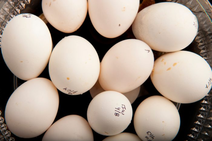 Photo: Eggs of the red-browed Amazon parrot at the Rare Species Conservatory Foundation.