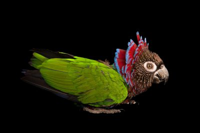 A Brazilian hawk-headed parrot (Deroptyus accipitrinus fuscifrons) at the Rare Species Conservatory Foundation.