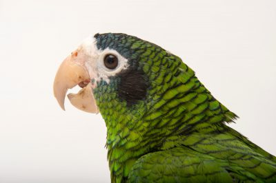 Picture of a vulnerable hispaniolan amazon or parrot (Amazona ventralis) at the Knoxville Zoo in Knoxville, Tennessee.