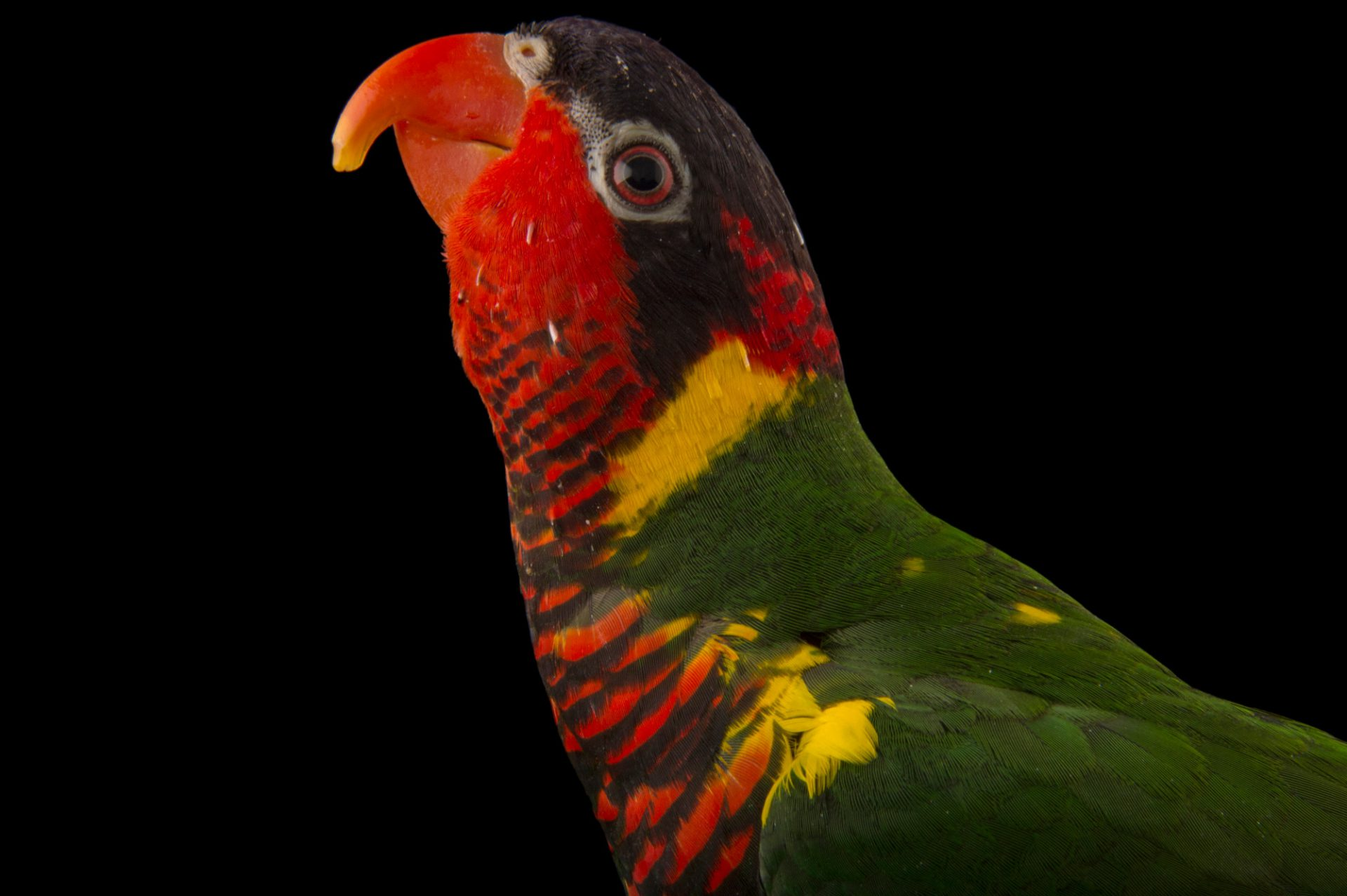 Photo: Chica, an ornate lorikeet (Trichoglossus ornatus) at the Boonshoft Museum.