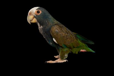 Picture of a white-crowned parrot (Pionus senilis) at Tampa's Lowry Park Zoo.