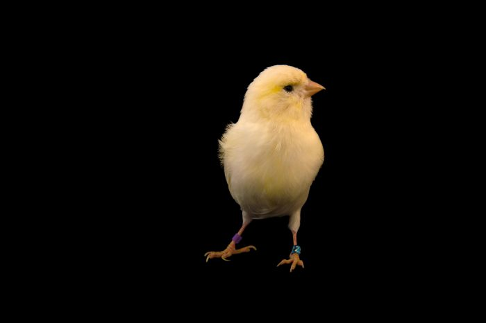 Photo: A canary (serinus canaria domestica) named Winter.