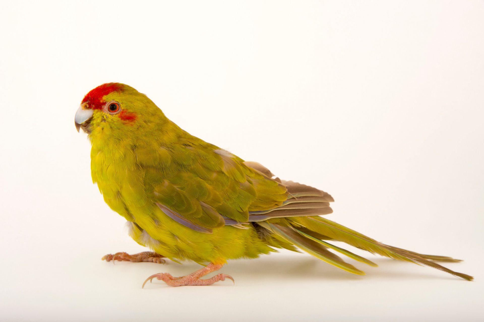 Photo: A female, vulnerable red-crowned parakeet (Cyanoramphus novaezelandiae) named 'Gidget'.
