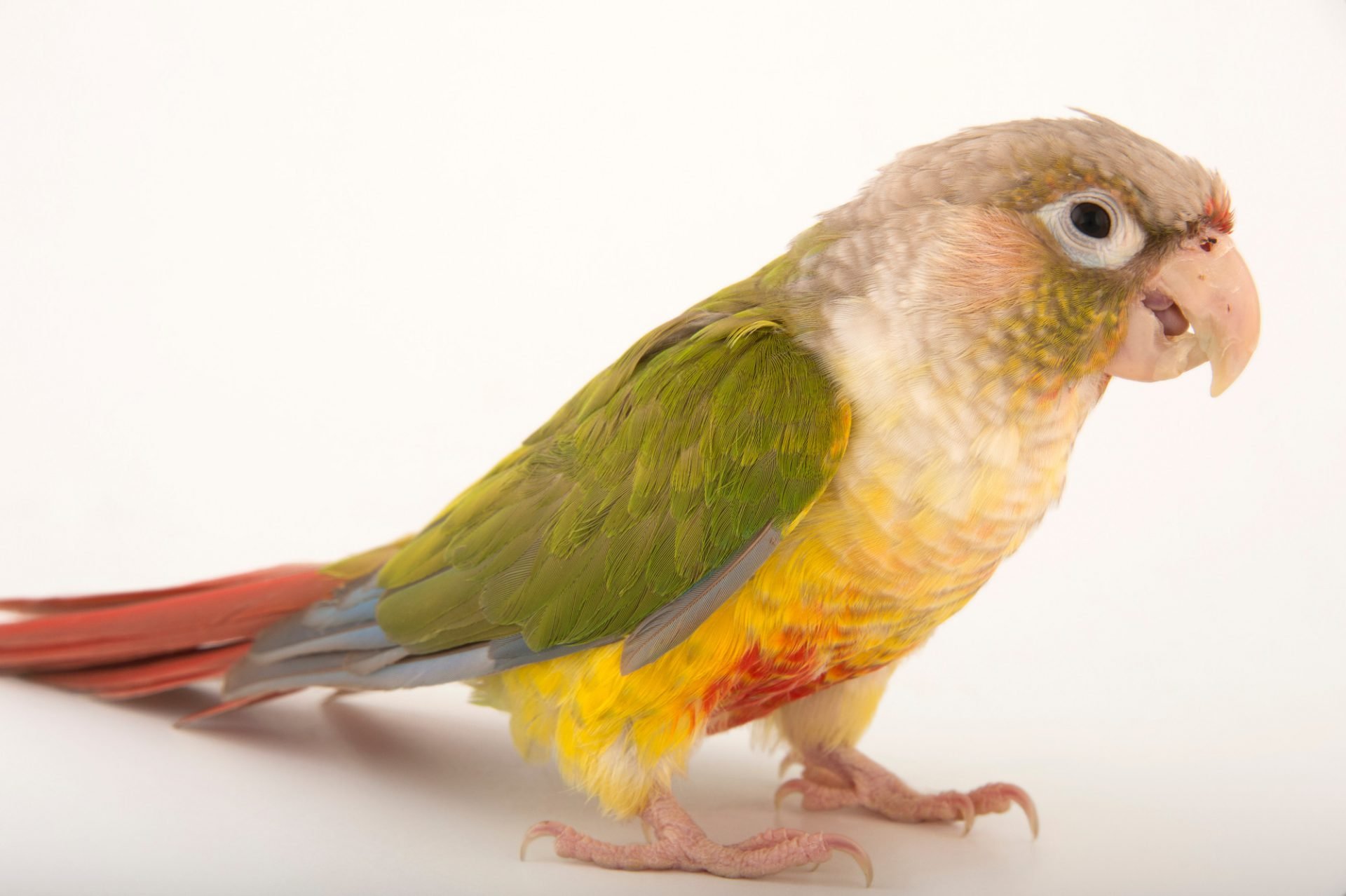 A pineapple color variant of the green-cheeked conure (Pyrrhura molinae). This bird is a male named Squirt.