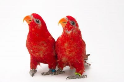 A pair of red lories (Eos bornea) at the Indianapolis Zoo.