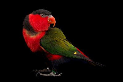 A black-capped lory (Lorius lory) at the Indianapolis Zoo.