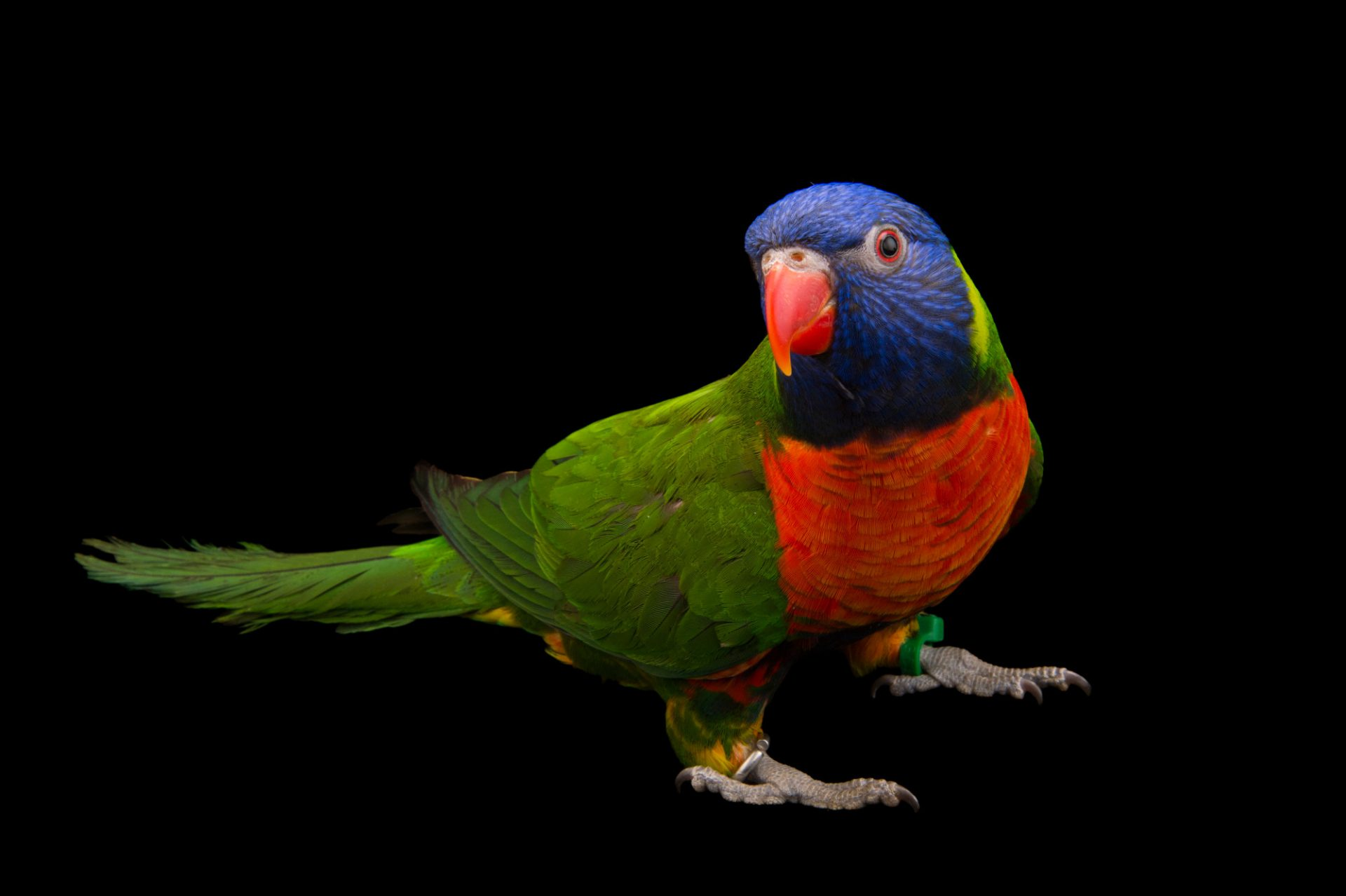 Picture of an Australian rainbow lorikeet (Trichoglossus moluccanus) at the Indianapolis Zoo.