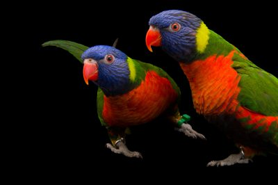 A pair of Australian rainbow lorikeets crossed with Forsten's lorikeets (Trichoglossus moluccanus x Trichoglossus forstenii) at the Indianapolis Zoo.