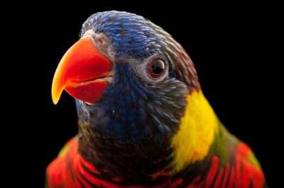 Picture of a coconut lorikeet (Trichoglossus haematodus haematodus) at the Kansas City Zoo.