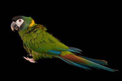 A yellow-collared macaw (Primolius auricollis) at Omaha's Henry Doorly Zoo and Aquarium.