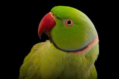 Photo: King, an Indian ringnecked parakeet (Psittacula krameri borealis).
