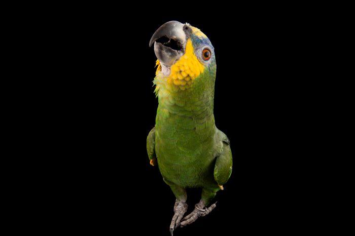 An orange-winged Amazon parrot (Amazona amazonica) at Omaha's Henry Doorly Zoo and Aquarium, Omaha, Nebraska.