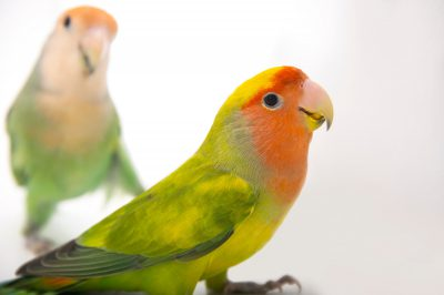 Picture of two rosy-faced lovebirds (Agapornis roseicollis) at the Lowry Park Zoo in Tampa, Florida.