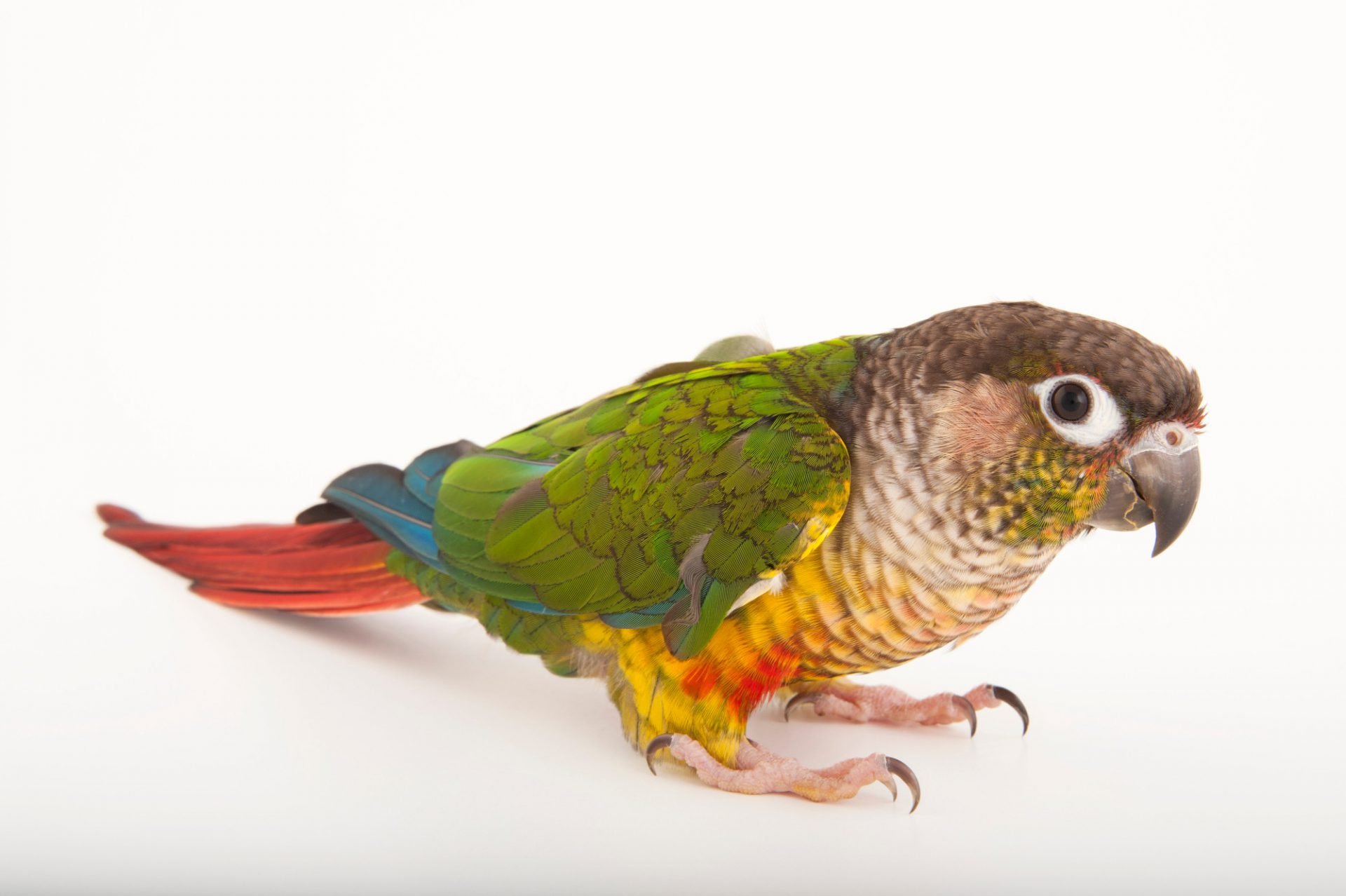 A green-cheeked conure or green-cheeked parakeet (Pyrrhura molinae) from the Gladys Porter Zoo in Brownsville, Texas.