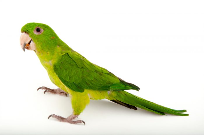 A green conure (Aratinga holochlora) at the Gladys Porter Zoo in Brownsville, Texas.