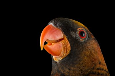 Picture of a dusky lory (Pseudeos fuscata) named Joey at the Dallas Zoo.