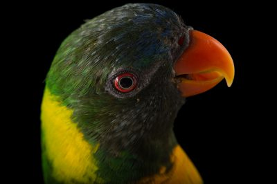 Picture of a Marigold lorikeet (Trichoglossus capistratus) named Linguini at the Dallas Zoo.