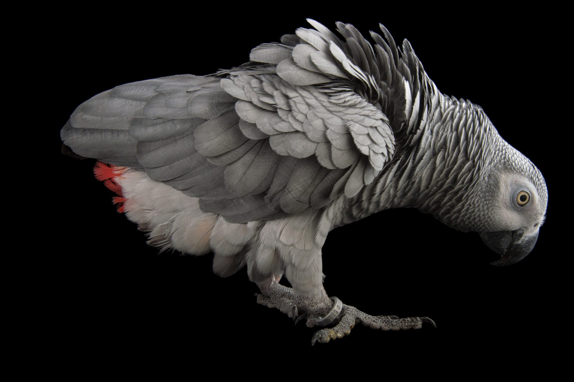 Picture of an endangered Congo grey parrot (Psittacus erithacus erithacus) at the Dallas Zoo. The bird's name is Murphy.