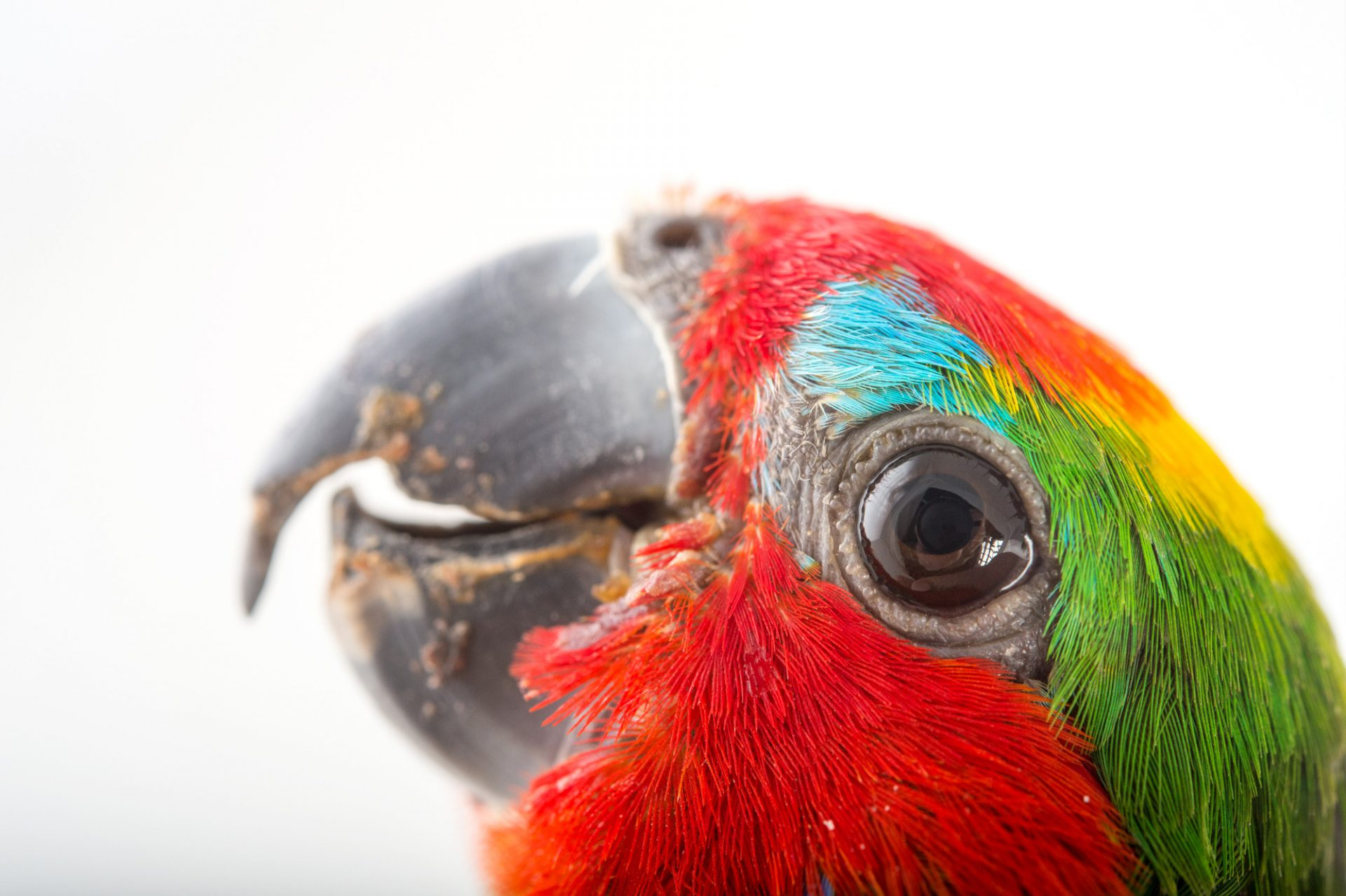 Picture of a double-eyed fig parrot (Cyclopsitta diophthalma) at the Dallas Zoo. The bird's name is Figley.