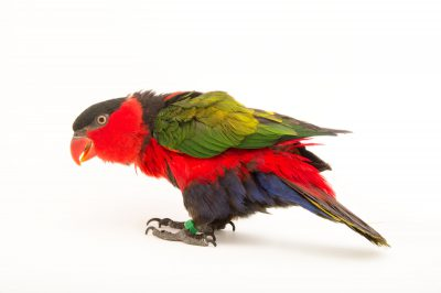 Picture of an eastern black-capped lory (Lorius lory erythrothorax) at the Indianapolis Zoo.
