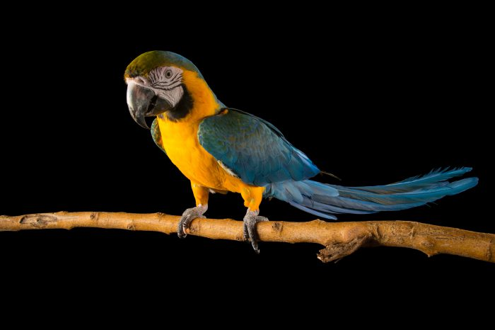 Picture of a blue and yellow macaw (Ara ararauna) at the Lincoln Children's Zoo.