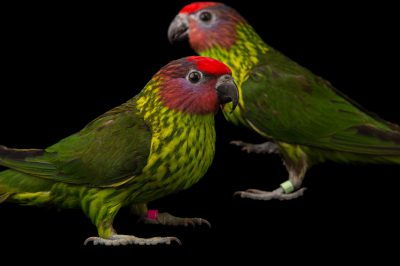 Picture of Goldie's lorikeets (Psitteuteles goldiei) at the Columbus Zoo.