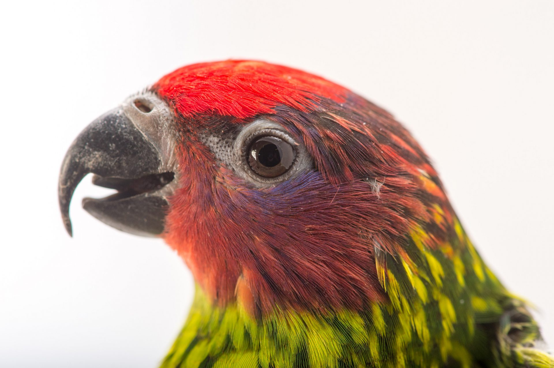 Picture of a Goldie's' lorikeet (Psitteuteles goldiei) at the Columbus Zoo.