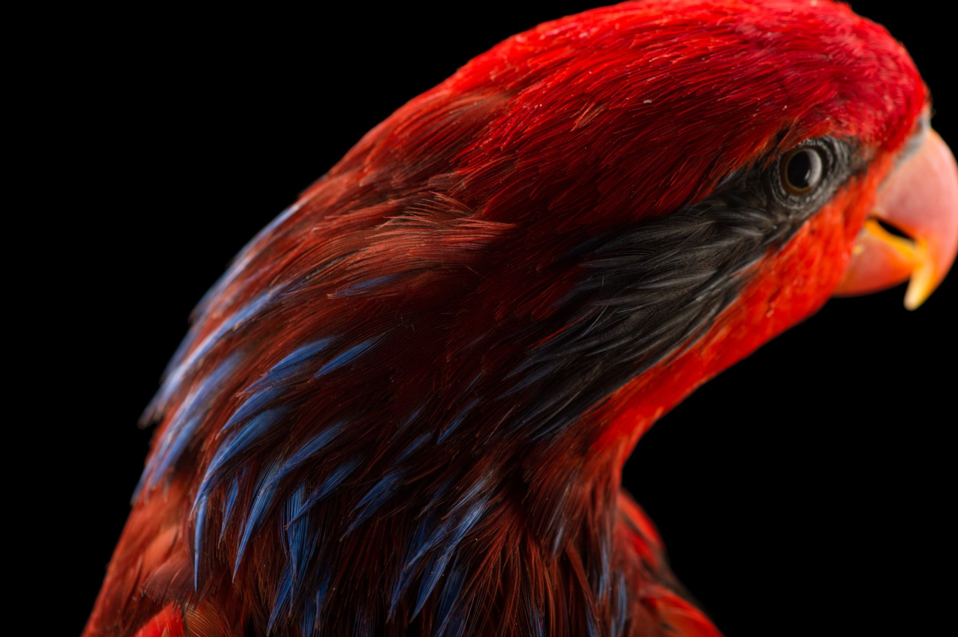 Picture of a Blue-streaked lory (Eos reticulata) at the Columbus Zoo.