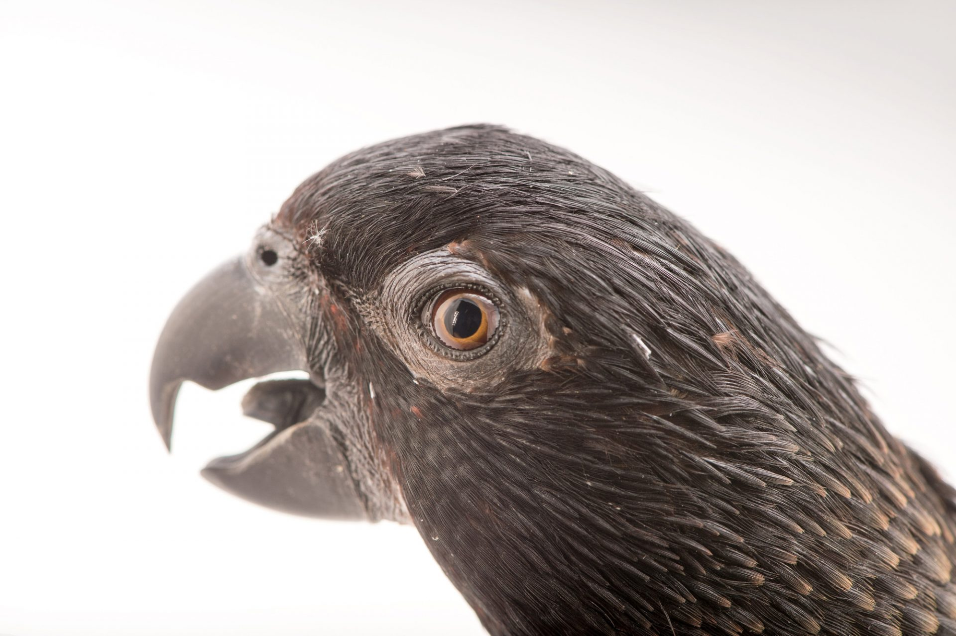 Picture of a Black lory (Chalcopsitta atra atra) at the Columbus Zoo.