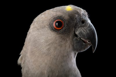 Picture of Tara, a brown parrot (Poicephalus meyeri) at Alabama Gulf Coast Zoo.