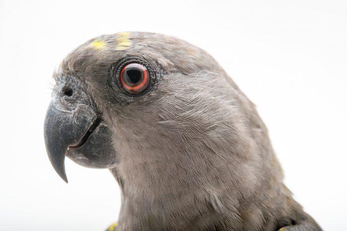 Picture of Tara, a brown parrot (Poicephalus meyeri) at Alabama Gulf Coast Zoo.