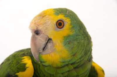 Picture of Coolio, a vulnerable yellow-shouldered amazon parrot (Amazona barbadensis) at Alabama Gulf Coast Zoo.