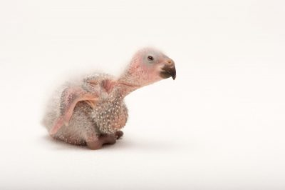 Picture of a baby Swainson's lorikeet (Trichoglossus haematodus moluccanus) at the Oklahoma City Zoo.