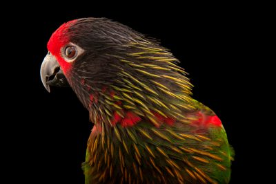 A yellow-streaked lory (Chalcopsitta sintillata rubrifrons) at the Cleveland Metroparks Zoo.