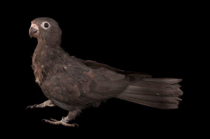 A lesser vasa parrot (Coracopsis nigra) at Omaha's Henry Doorly Zoo and Aquarium.