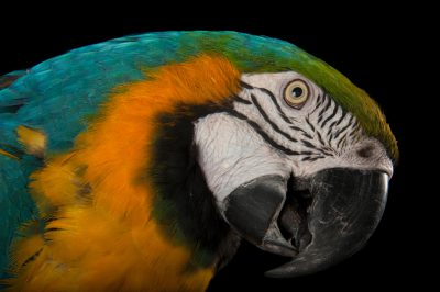 Picture of a blue and yellow macaw (Ara ararauna) at Ocean Park in Hong Kong.