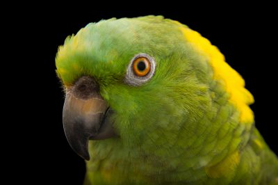 Picture of Coco, a hand-raised, vulnerable, yellow-naped Amazon parrot (Amazona auropalliata parvipes) at the Cincinnati Zoo.