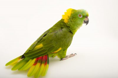 Picture of a hand-raised, vulnerable, yellow-naped Amazon parrot (Amazona auropalliata parvipes) at the Cincinnati Zoo.
