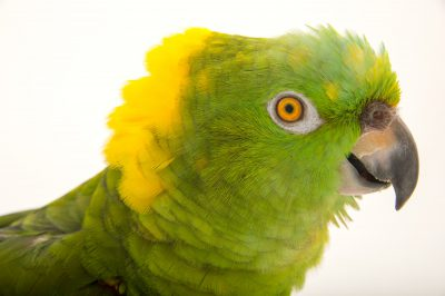 "Photo: Coco, a hand-raised, vulnerable, yellow-naped Amazon parrot (Amazona auropalliata parvipes) at the Cincinnati Zoo. Coco can sing the first line in ""Take me out to the ballgame'."