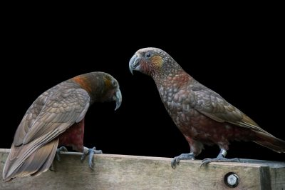 Picture of two New Zealand kakas (Nestor meridionalis septentrionalis) at the Auckland Zoo. This species is listed as endangered by IUCN.